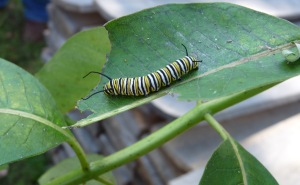 caterpillarleaf